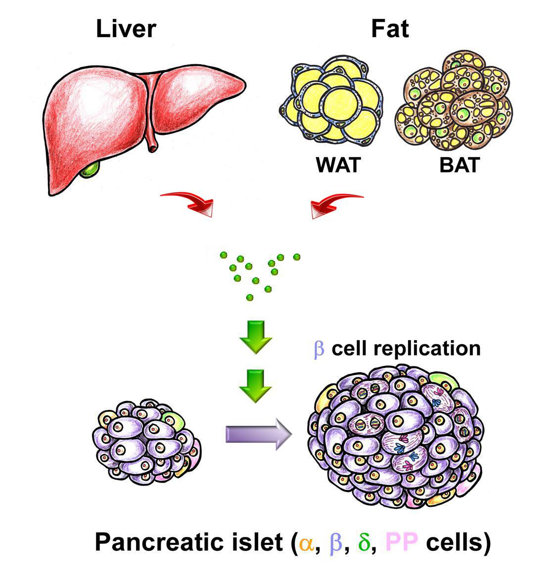 The mechanism of pancreatic beta cell replication