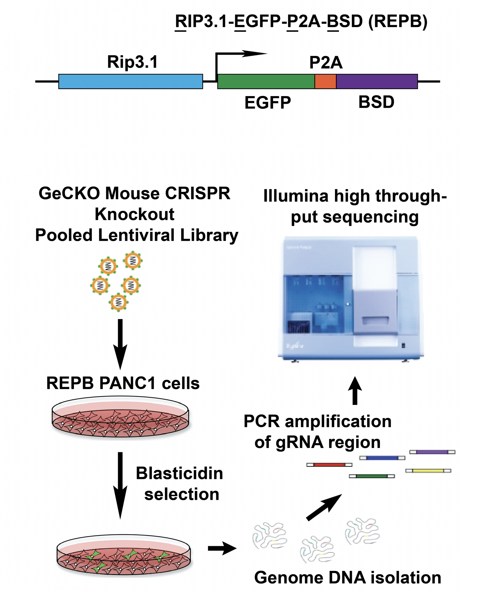 Genome DNA Isolation